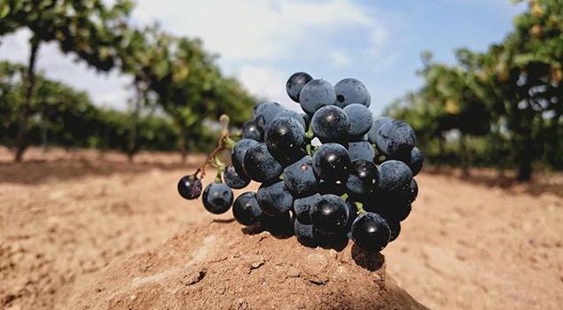 La Uva ©Aleph Wines